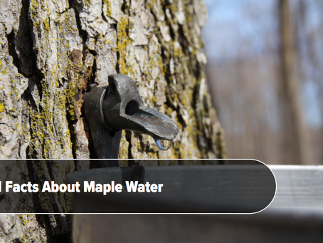 Maple Water: 11 Things You Need To Know About This Maple Sap Drink