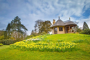 SG Daffodils Swiss Cottage - D Harbar.jp