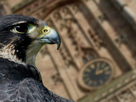 Derby Cathedral Peregrines - LIVE Webinar Thursday 27th!