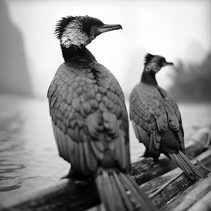 "Jo Farrell - ""Cormorants, Guilin"" - Signed Limited Edition of 25"