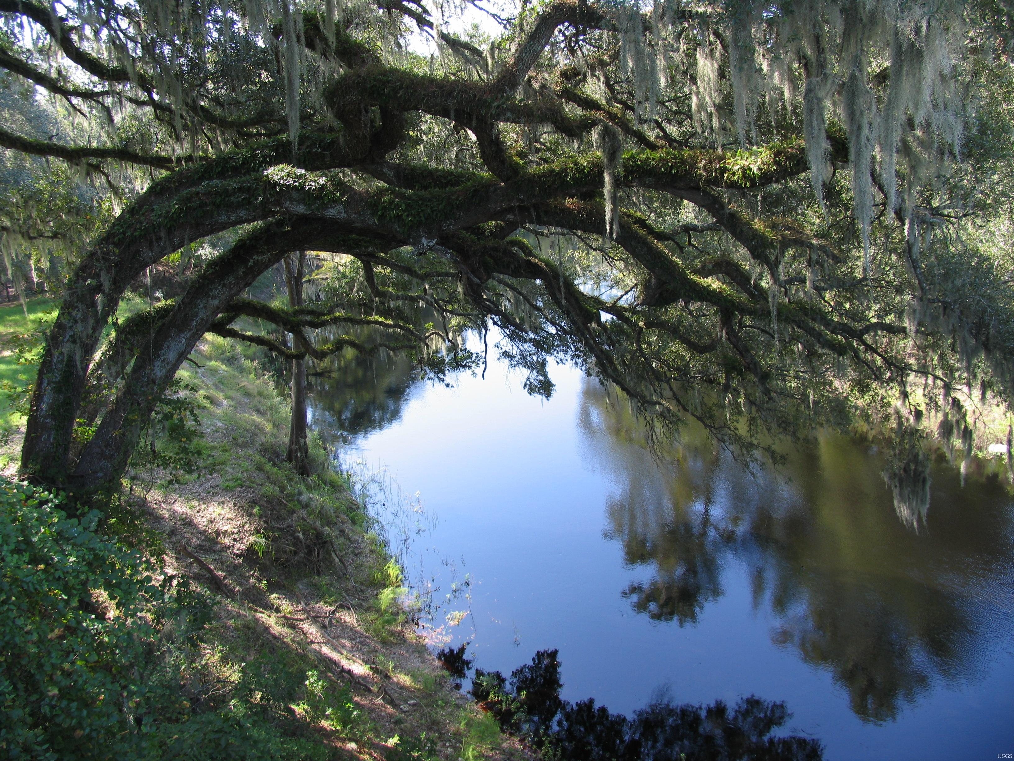 Suwannee_river_live_oaks