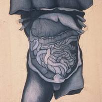 torso study small intestines