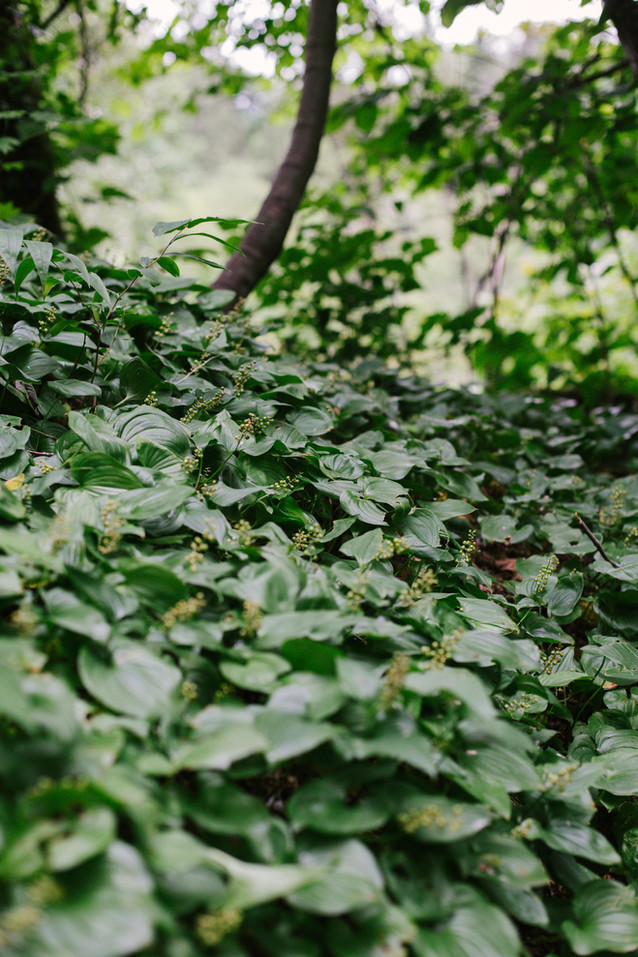 Lily-of-the-Valley covered the shaded forest floor with it's beautiful deep greens.
