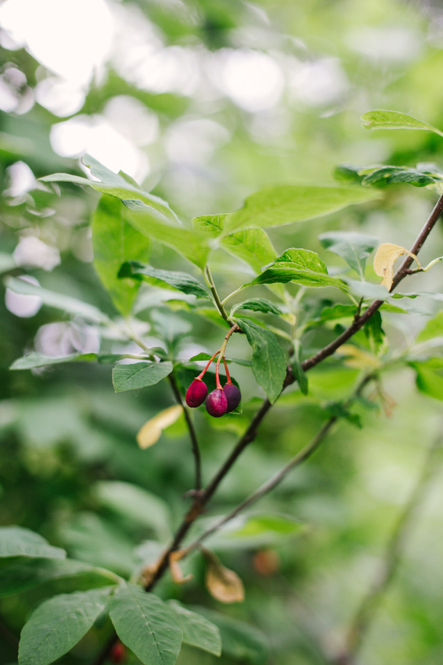 Indian plum, a species native to the Pacific Northwest is abundant in the area and is highly loved by birds.