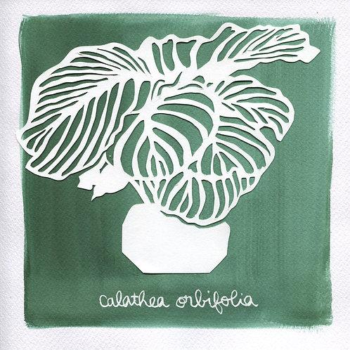 We will plant you - Original 31 - Calathea orbifolia