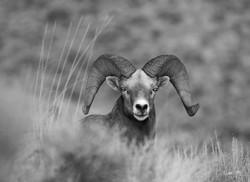 California Bighorn Sheep (Ovis cana)