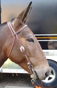 Dotted Headstall
