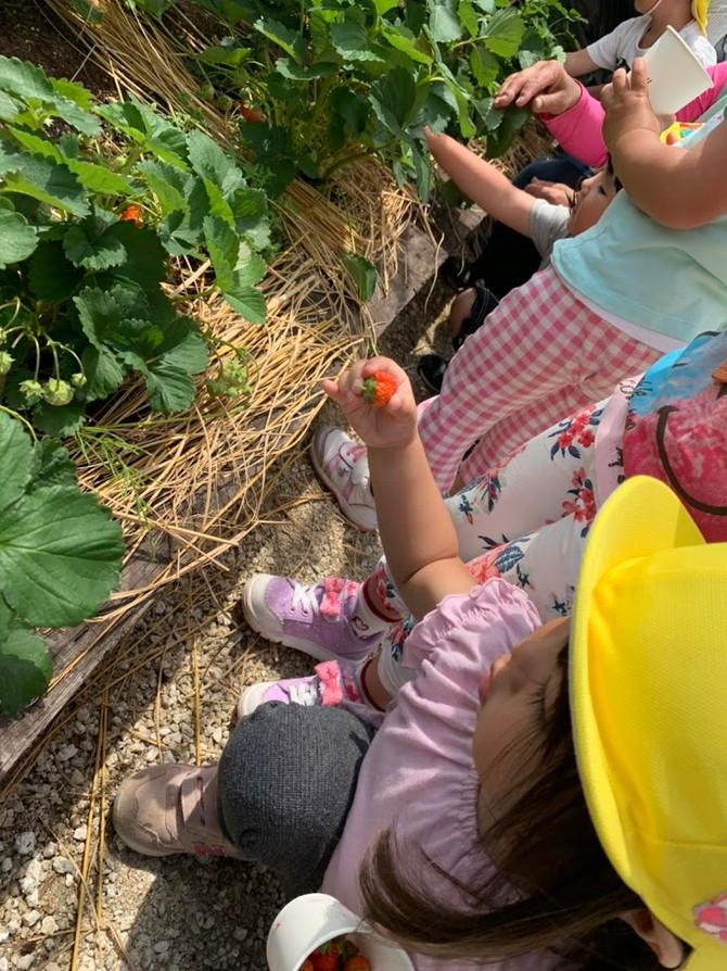 園庭でイチゴ狩り🍓