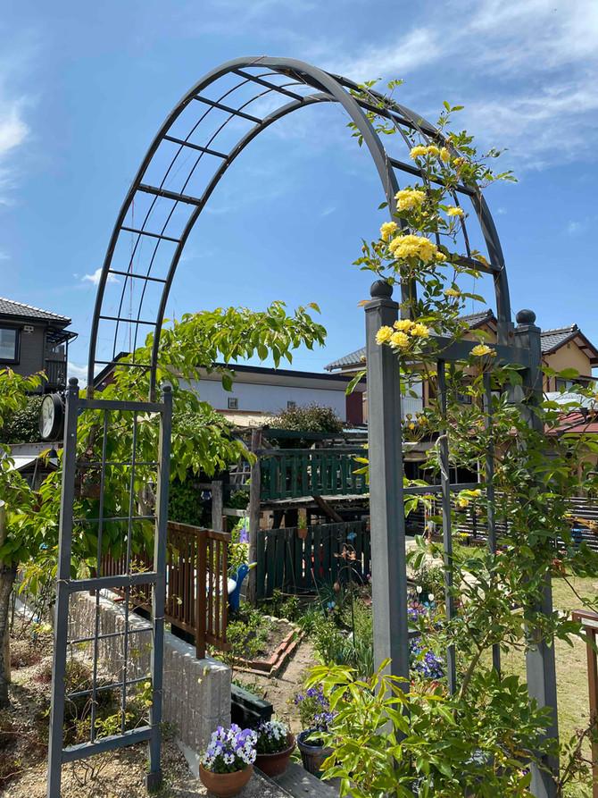 園庭のモッコウバラ