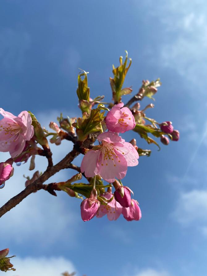 園庭の河津桜🌸