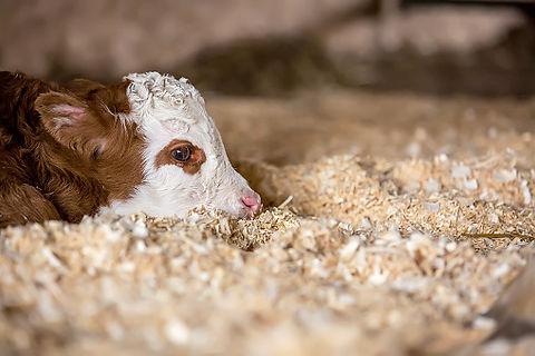 calf on shavings.jpg