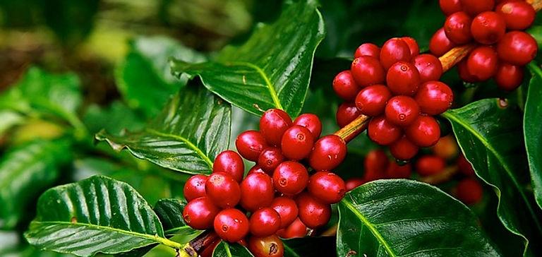 Cerises mûres de café sur caféier