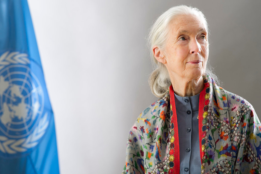 """United Nations Messenger of Peace Jane Goodall"" by United Nations Photo is licensed under CC BY-NC-ND 2.0"