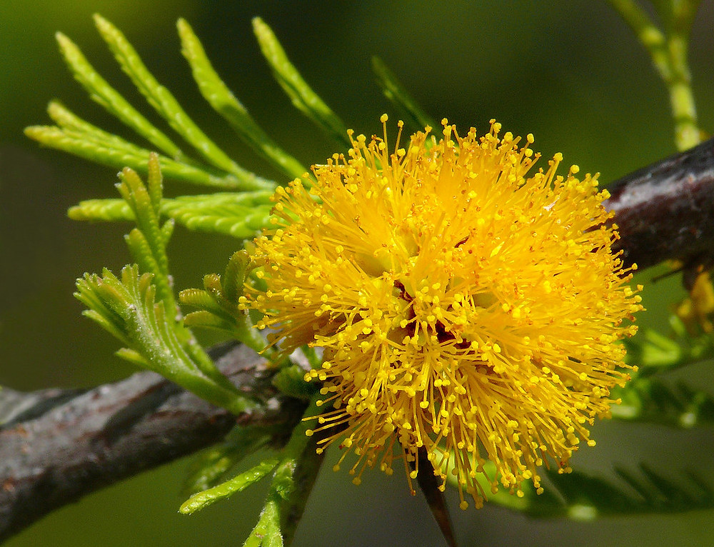 """""""Acacia caven #1"""" by J.G. in S.F. is licensed under CC BY-NC-ND 2.0"""