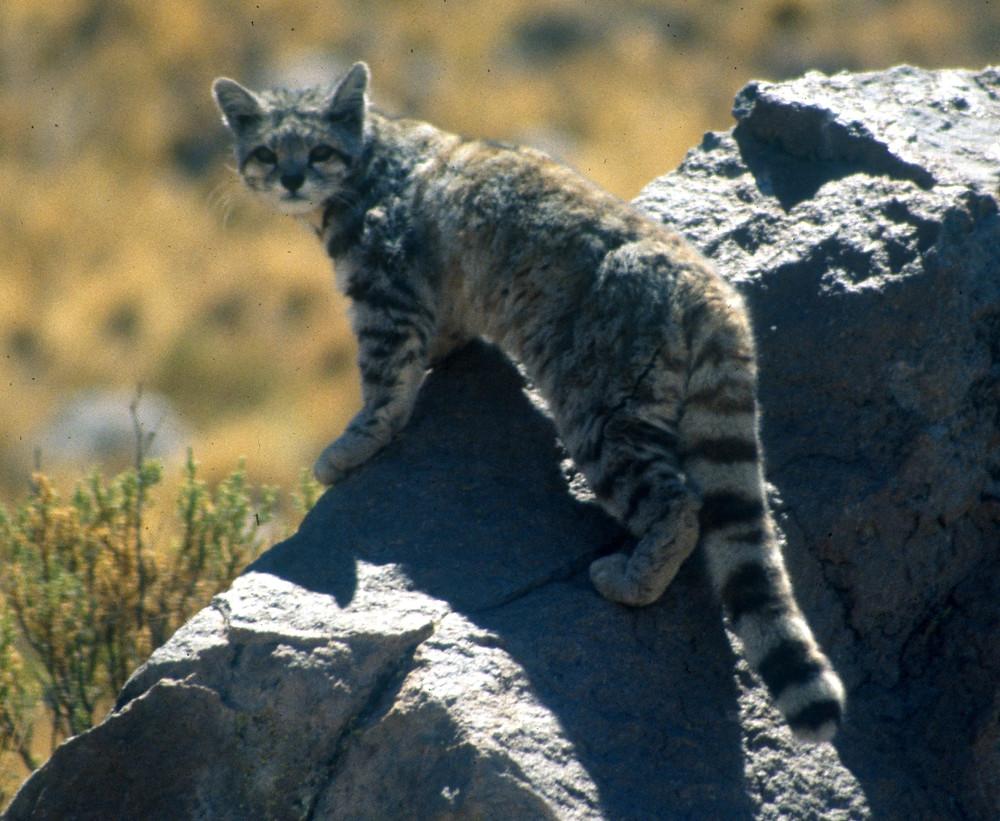 """File:Andean cat 1 Jim Sanderson.jpg"" by Jim Sanderson is licensed under CC BY-SA 3.0"