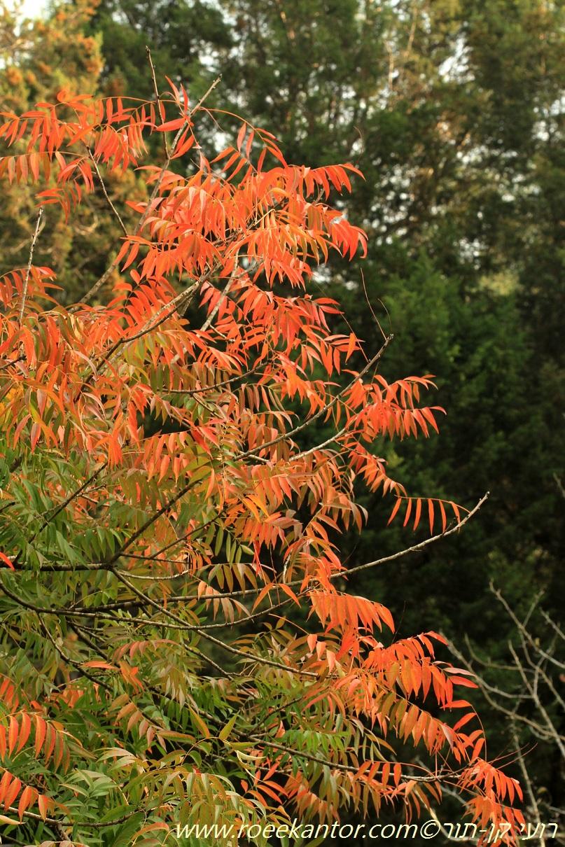 אלה סינית Pistacia chinensis (4).JPG