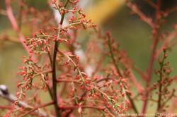 אלה סינית Pistacia chinensis (11).JPG