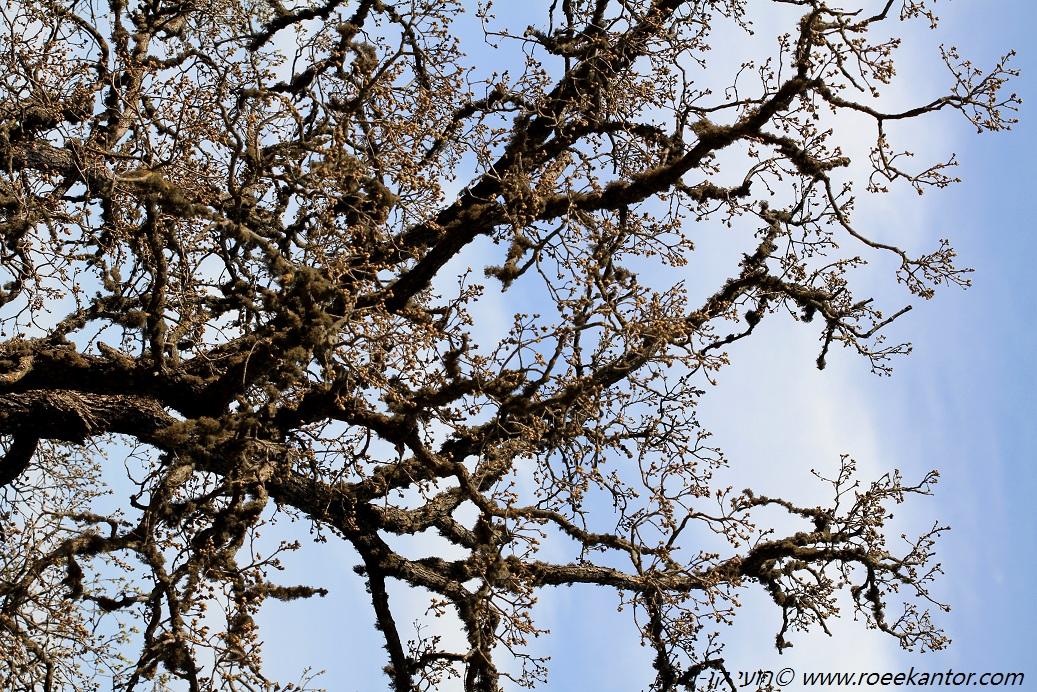 אלון התולע Quercus boissieri (6).JPG