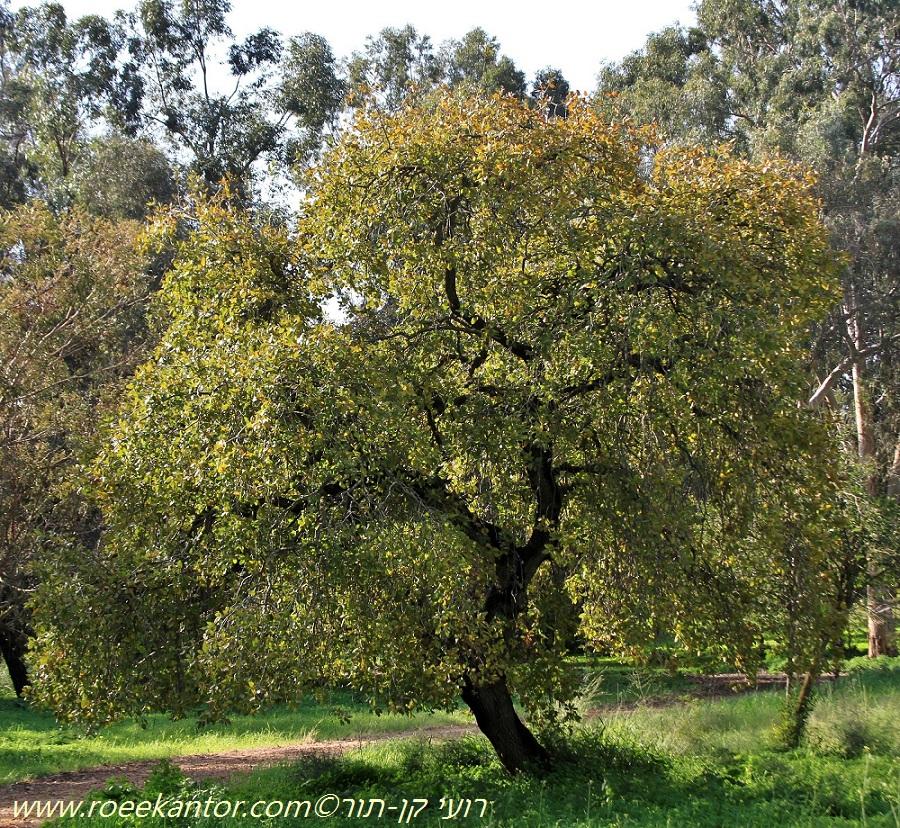 אלון התבור Quercus ithaburensis (14).JPG