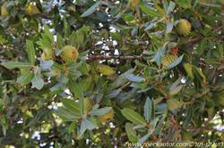 אלון מצוי Quercus calliprinos (6).JPG