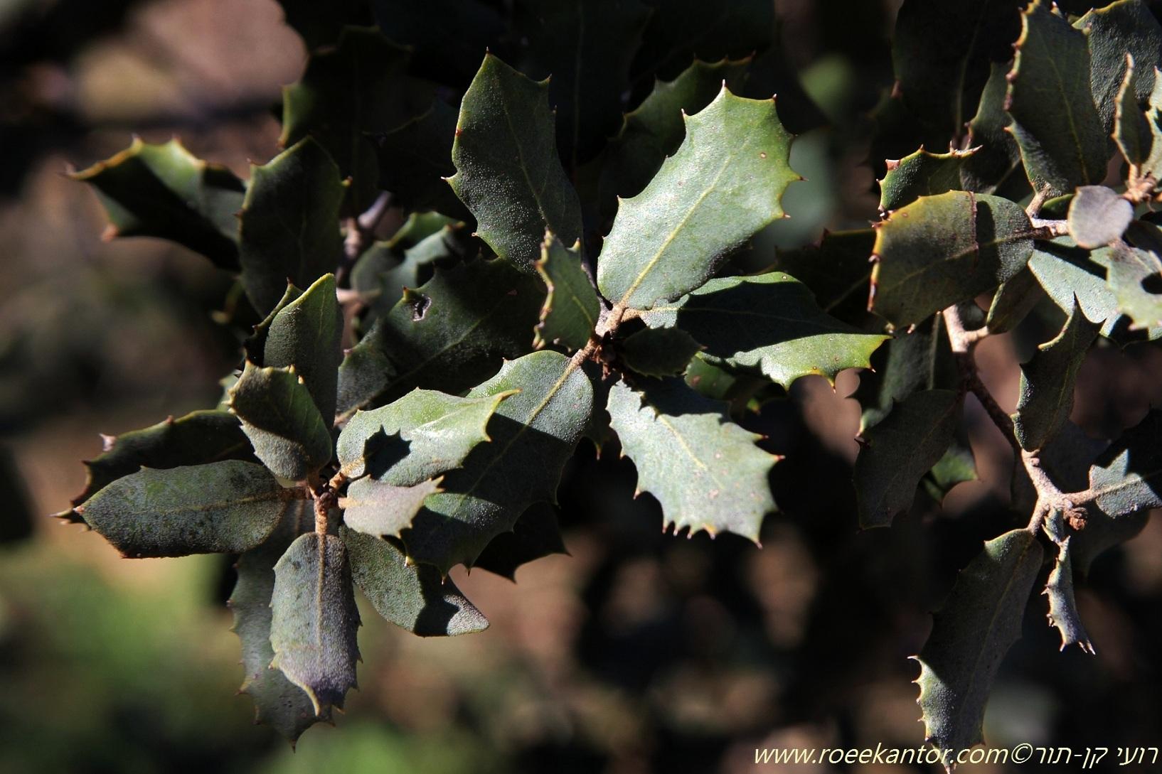 אלון עגול-עלים Quercus rotundifolia (1).JPG