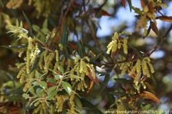 אלון הגלעין Quercus ilex (3).jpg