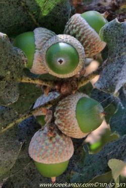 אלון לביד Quercus pubescens (4).JPG