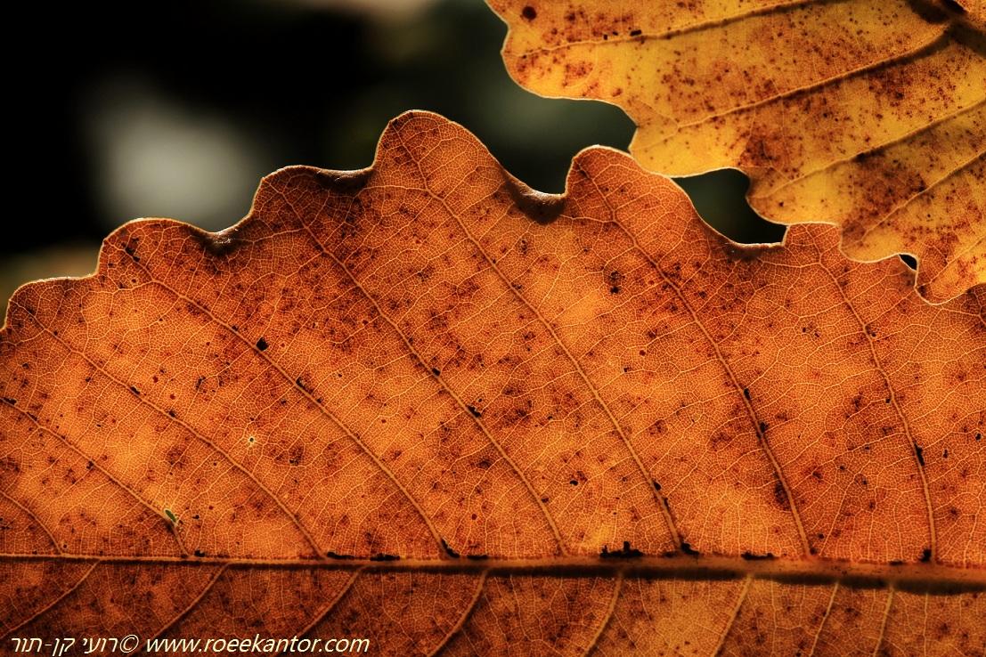 אלון התולע Quercus boissieri (12).JPG