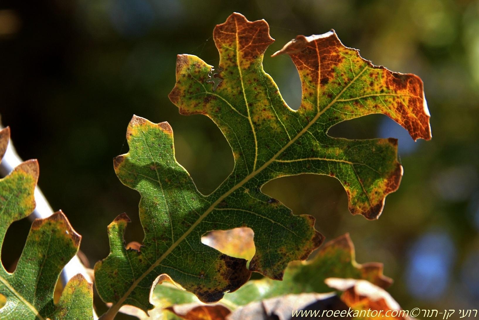 אלון אונתי Quercus lobata (2).JPG