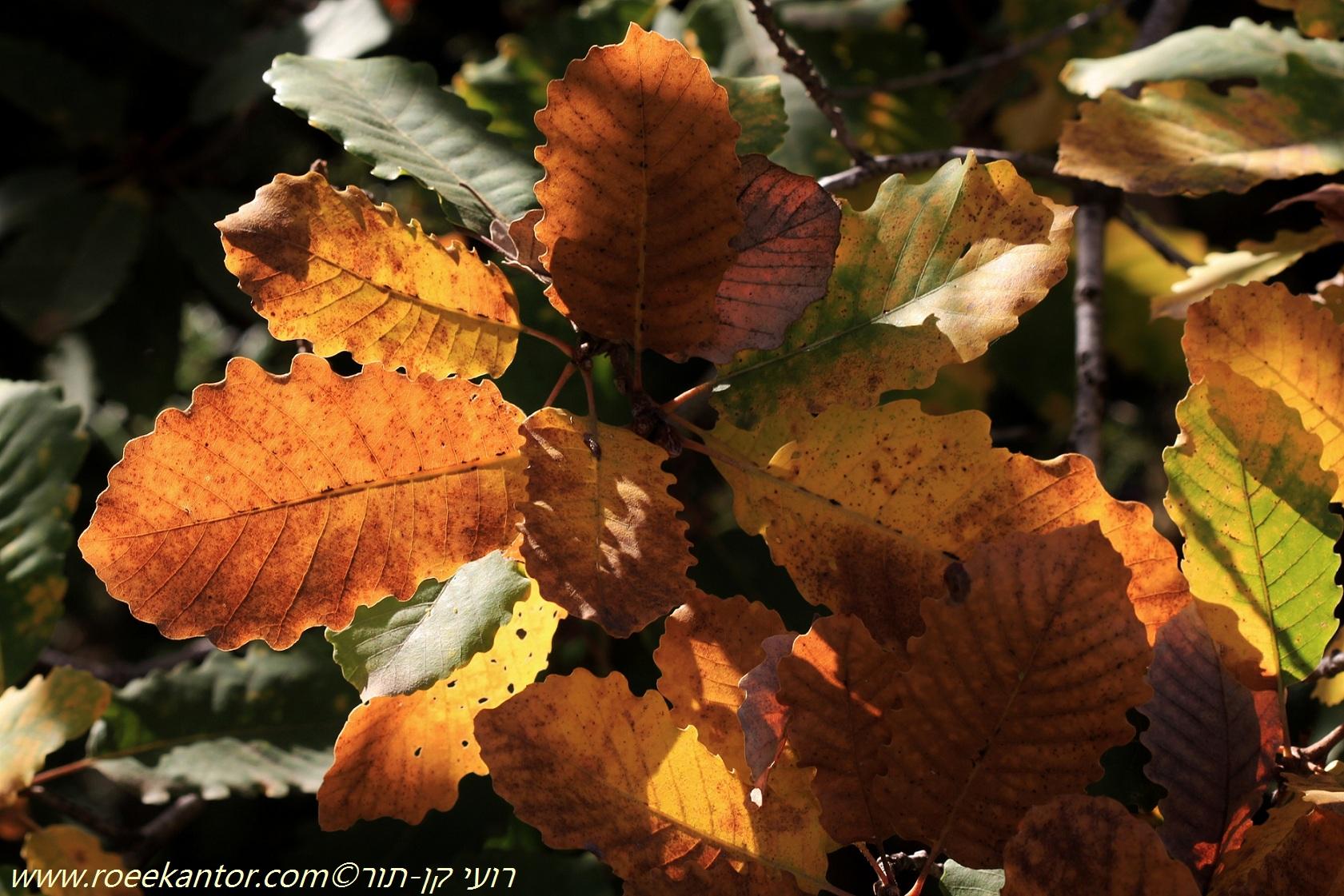 אלון התולע Quercus boissieri (10).JPG