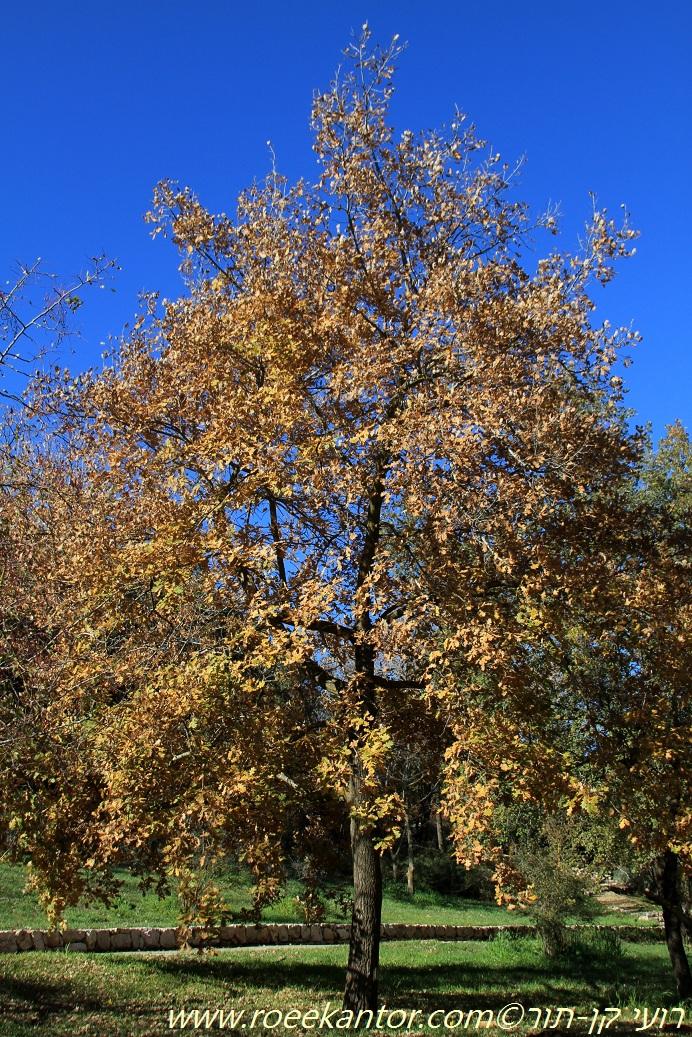 אלון ארך-עוקצים Quercus pedunculifolia (5).JPG