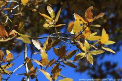 אלון הלבנון Quercus libani (3).JPG