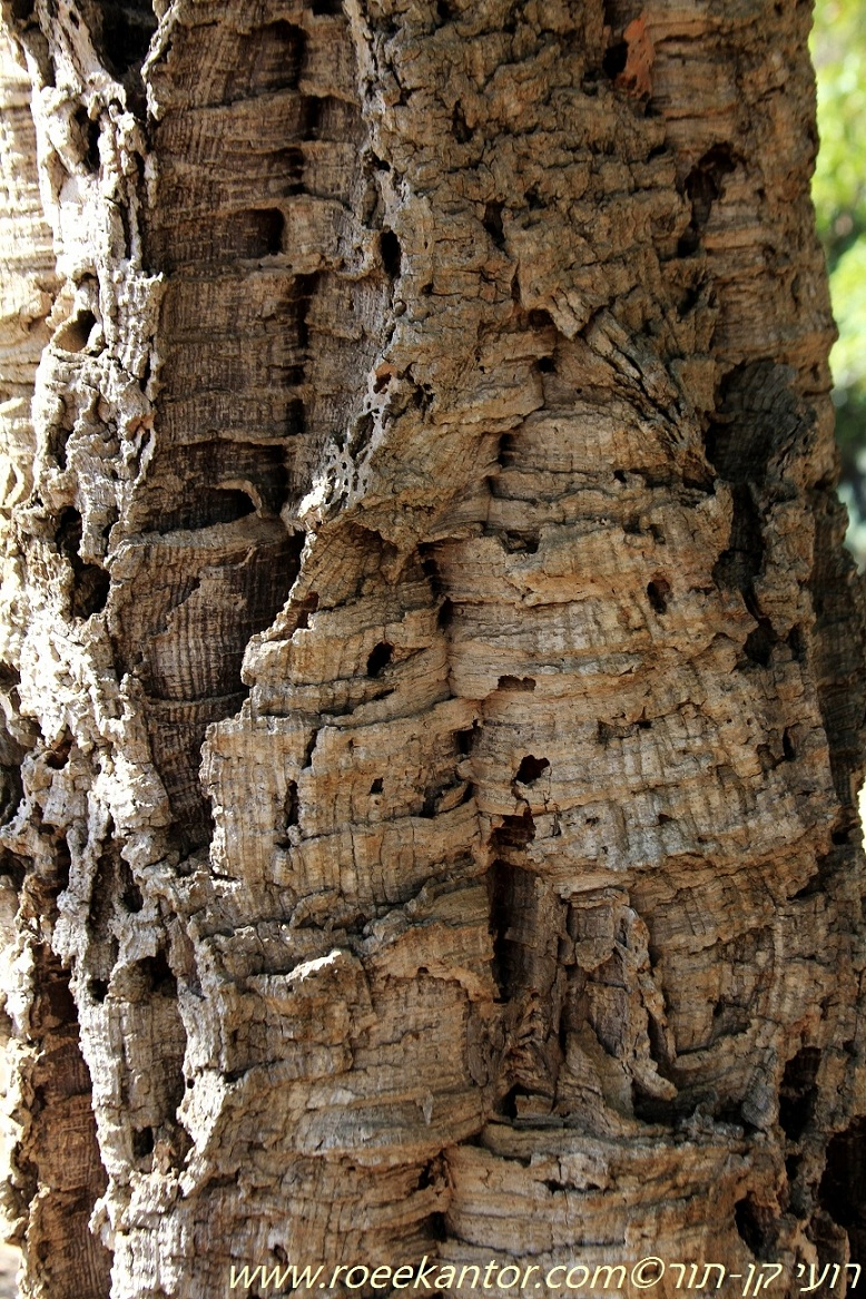 אלון השעם Quercus suber (3).JPG