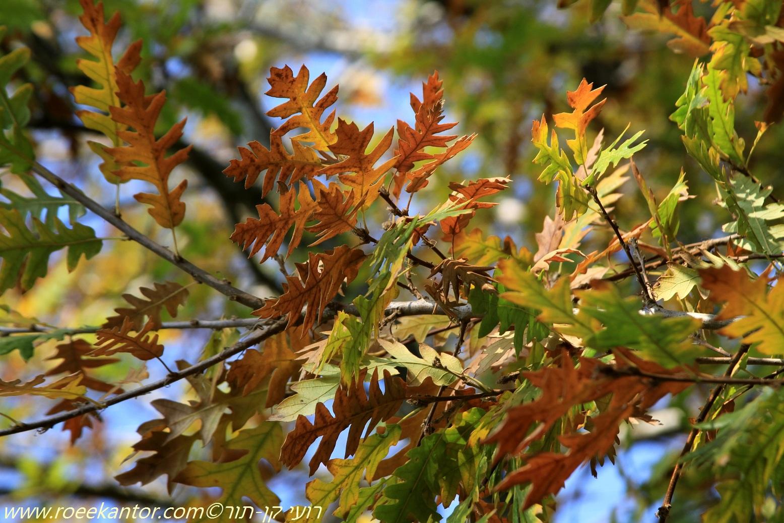 אלון שסוע Quercus cerris (6).JPG