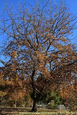 אלון אנגלי Quercus robur (6).JPG