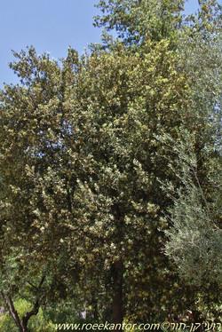 אלון הגלעין Quercus ilex (1).jpg