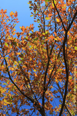 אלון אנגלי Quercus robur (12).JPG