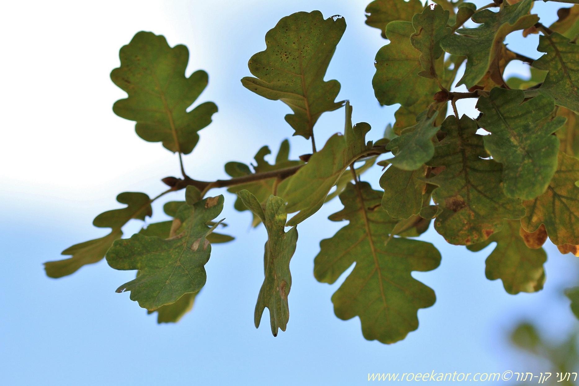 אלון ישוב Quercus petraea (1).JPG