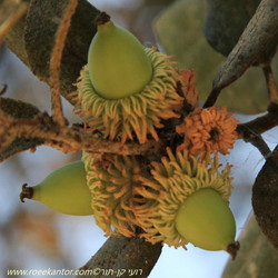 אלון זהוב Quercus alnifolia (10).JPG