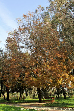 אלון שסוע Quercus cerris (12).JPG