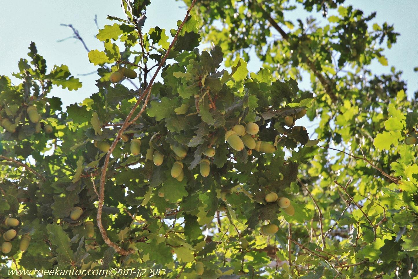 אלון האאס Quercus haas (2).JPG