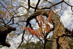 אלה סינית Pistacia chinensis (10).JPG