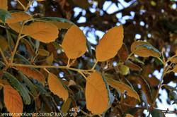 אלון זהוב Quercus alnifolia (8).JPG