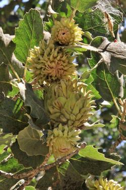 אלון גדול-קשקשים Quercus macrolepis (2).JPG
