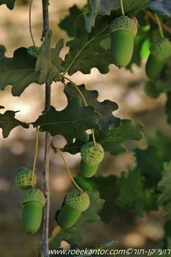 אלון ארך-עוקצים Quercus pedunculifolia (8).JPG