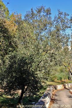 אלון עגול-עלים Quercus rotundifolia (2).JPG