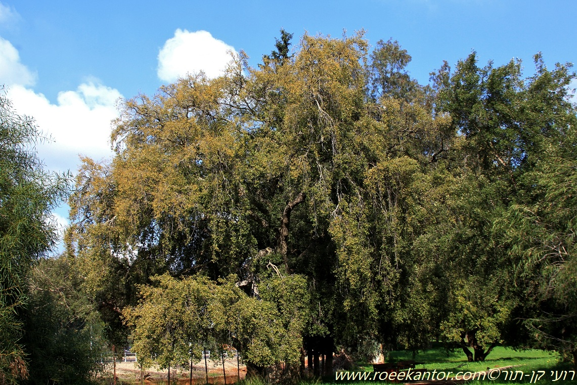 אלון השעם Quercus suber (5).JPG