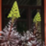 נצחה שיחית 'שחורה' Aeonium arboreum 'Zwartkopf'..jpg