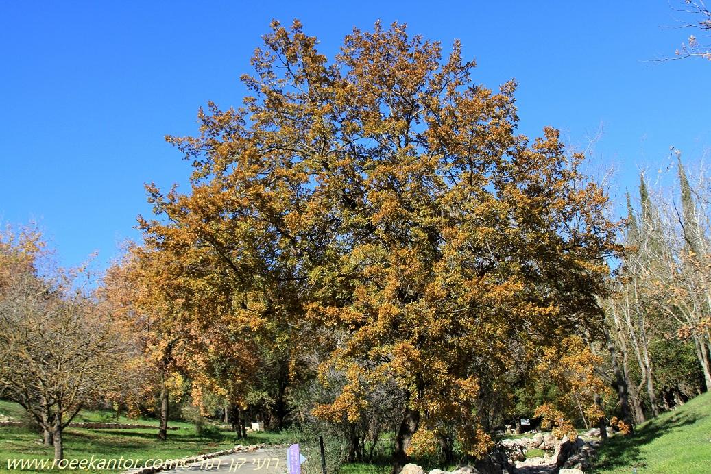 אלון הלבנון Quercus libani (4).JPG