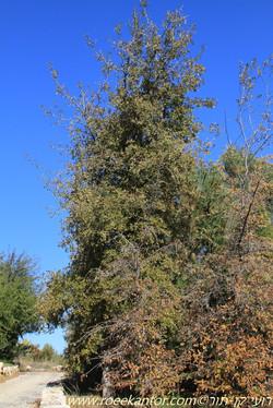 אלון אונתי Quercus lobata (1).JPG